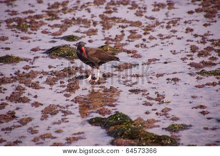 American Oystercatcher Walking In Tide Pools