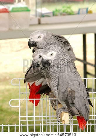 African Grey Parrot Also Known As Grey Parrot Are One Of The Most Intelligent Birds In The World