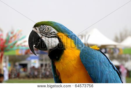 Closure look at Blue and yellow Macaw