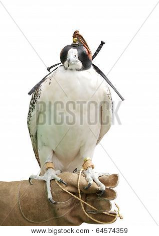 A falcon isolated on white