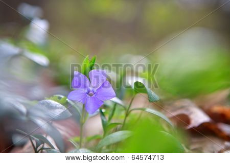 Vinca,  Periwinkle Flower In Green Forest
