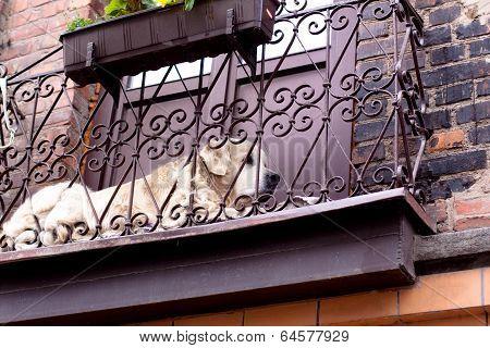 Whithe Dog