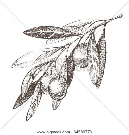 Hand drawn olive branch over white background