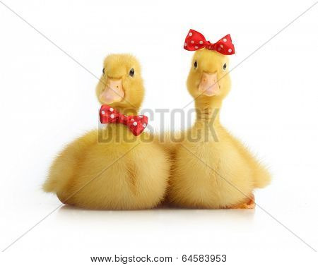 Cute little duckling with bow isolated on white background