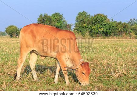 Thai Cow Eating Grass In The Field With Blue Sky