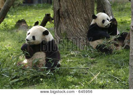 Giant Pandas Feeding