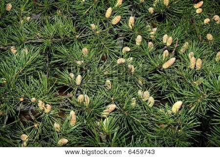Pine Branches