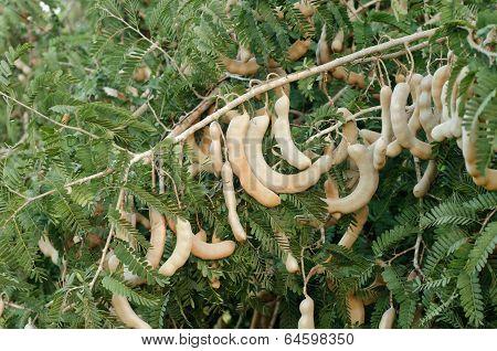 Raw tamarind hanging on  tree