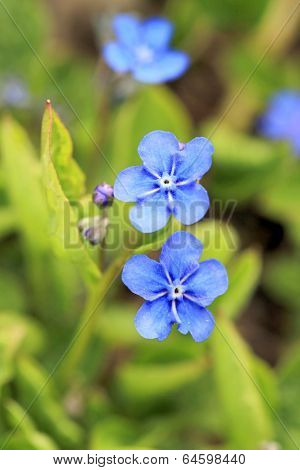 Blue Flowers Of Omphalodes Verna At Spring