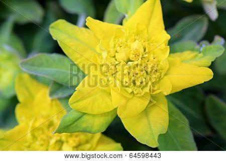 Yellow Flower Of Euphorbia Polychroma