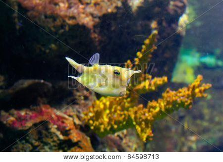 Longhorn Cowfish