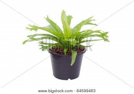 Nephrolepis biserrata Scott fern  (super chrissy fern )