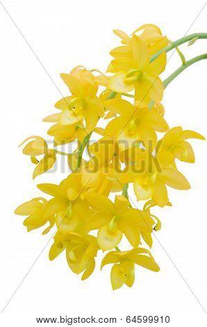 Yellow cymbidium  orchid isolated on white background