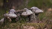 picture of bracket-fungus  - Three Bracket Fungus in Polish wild forest - JPG