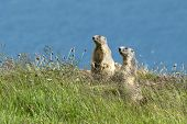 stock photo of marmot  - two marmots stands out of its den - JPG
