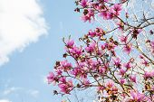 pic of japanese magnolia  - Beautiful Japanese Magnolia blossoms against a beautiful sky - JPG