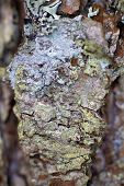 stock photo of alder-tree  - bark of alder tree macro close up - JPG