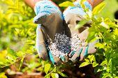 pic of fertilizer  - garden fertilizer on gardeners hand - JPG