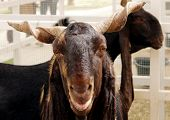 picture of billy goat  - Goats are one of the oldest domesticated species - JPG