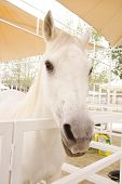 stock photo of arabian horse  - Arabian Horse Is A Breed Of Horse That Originated On The Arabian Peninsula - JPG