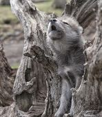 ������, ������: baby wolf howling