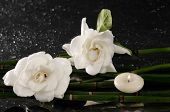 stock photo of gardenia  - Two gardenia flower with thin bamboo grove on wet background - JPG