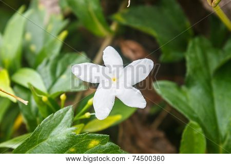 White Sampaguita Jasmine Or Arabian Jasmine