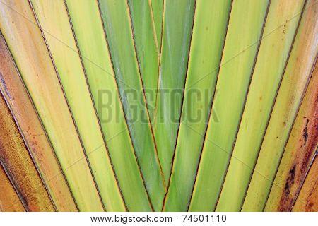 Traveler's tree Texture