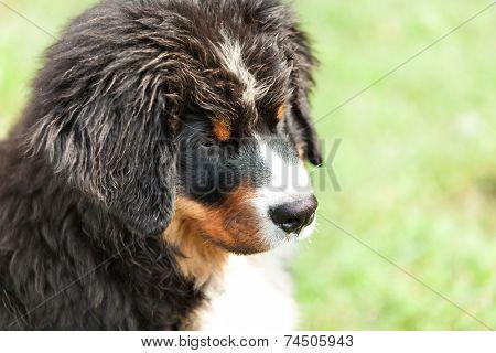 closeup of a Bernese mountain dog, outdoor