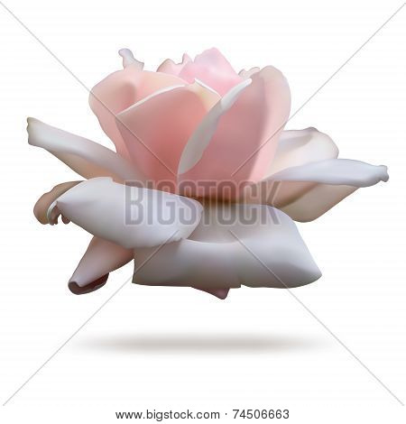 Pink rosebud isolated on white background.