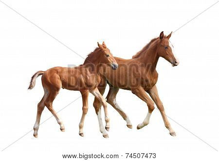 Two Cute Siblings Horse Foals Running
