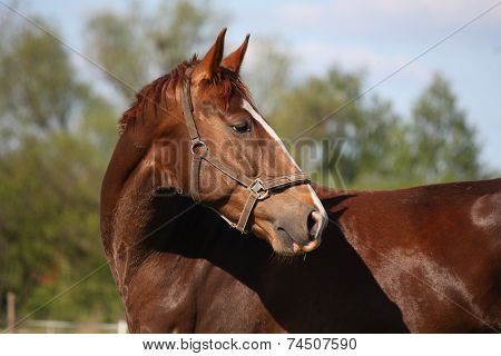 Beautiful Chestnut Horse Portrait In Summer