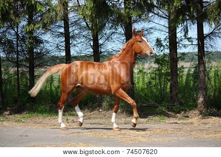 Chestnut Horse Trotting To The Stable
