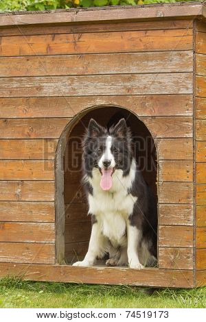 Border Collie In Wooden Doghouse.