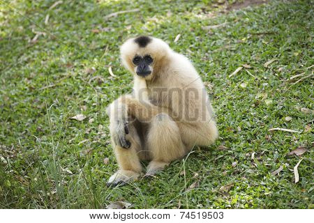 Gibbon On Green Grass