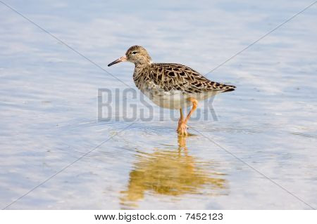 Ruff Wader Bird
