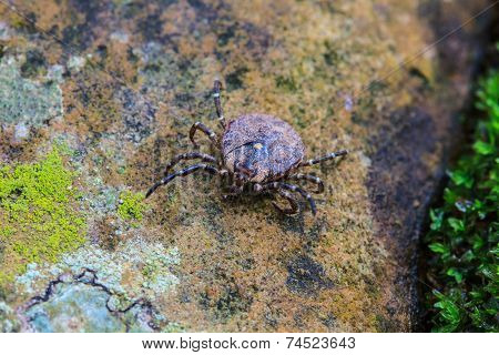 Parasite Tick On Ground