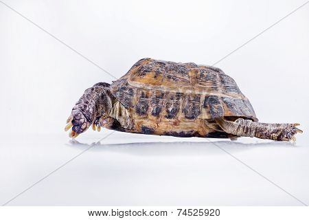 Turtle On A White Background