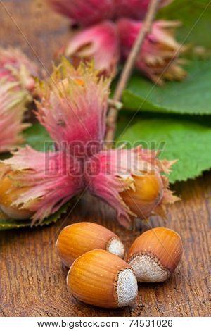 Ripe Hazelnut Fruits