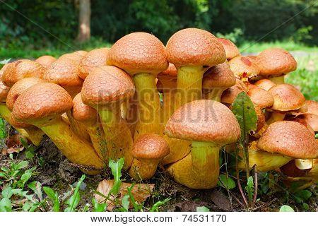 Nameko Mushrooms At The Roadside
