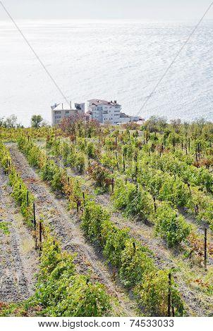 Vineyard In Massandra Region And Black Sea