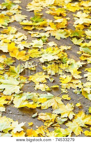 Fallen Yellow Maple Leaves On Pavement