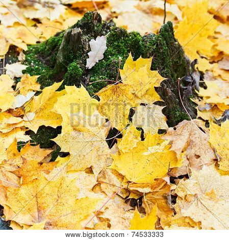 Yellow Maple Leaf Litter Around Mossy Tree Stump