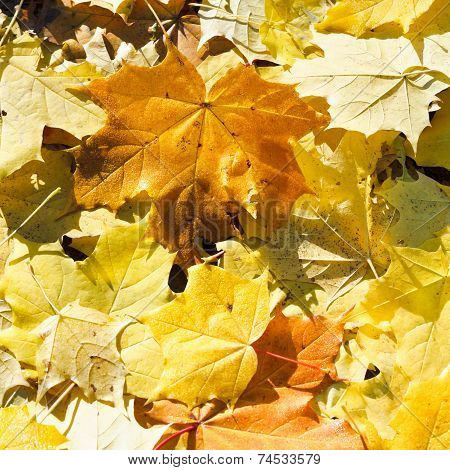 Brown And Yellow Maple Leaf Litter Close Up