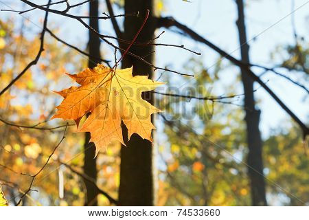 Fallen Maple Leaf On Branch In Autumn