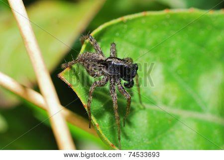 Spider Brown