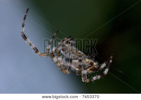 Garden Orb Spider At Work Macro