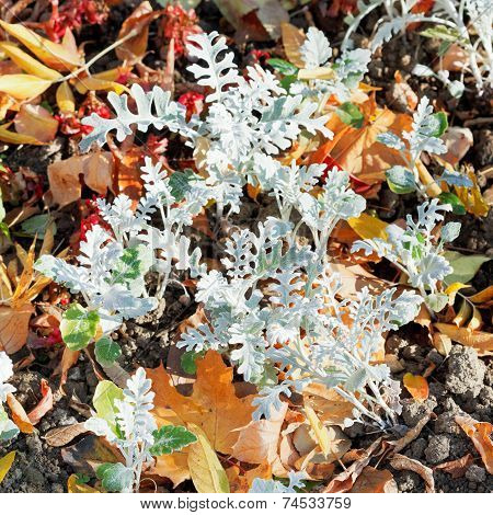 Jacobaea Maritima Silverdust And Leaf Litter