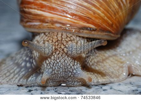 Vineyard Snail Looks Into Camera