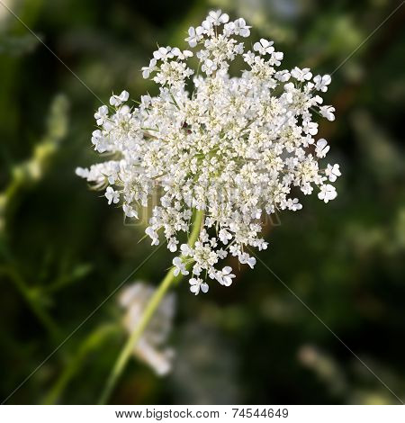 Common Yarrow (lat. Achillea millefolium) with green background